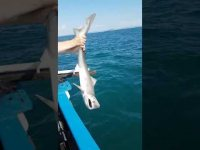 Lovely Tope Shark Caught Off Eastbourne Coast
